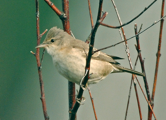 Barred Warbler St Mary's, Scilly, October 2007 by Steve Young