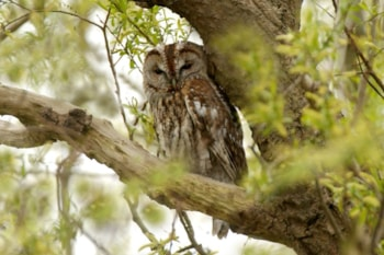 British Tawny Owls appear to be developing white patches in their plumage, as well as increasingly calling during the day – are we seeing a new subspecies evolve? Photo: Steve Young (www.birdsonfilm.com).