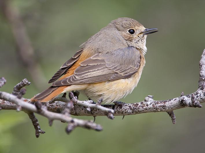 Common Redstart by Oliver Smart