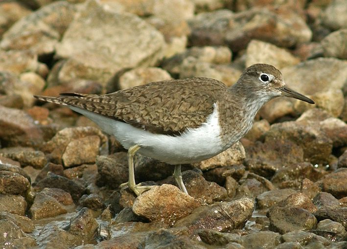 Common Sandpiper. Photo by Steve Young (www.birdsonfilm.com).