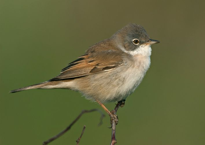 Common Whitethroat. Photo by Steve Young (www.birdsonfilm.com).