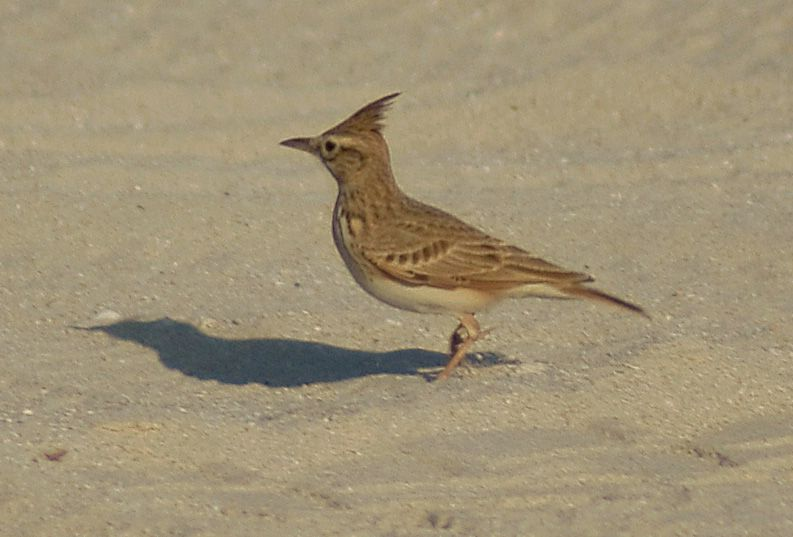 Crested Lark, seen here in Dubai, UAE, has long been mooted for potential splits. Photo: Nepenthes (commons.wikimedia.org).