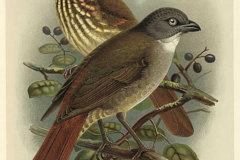 Despite appearances, the extinct Piopio is an oriole it seems. Image: J G Keulemens (commons.wikimedia.org).