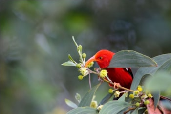 Despite its rapidly evolved specialisations, I'iwi, a Hawaiian honeycreeper, is genetically close to the more familiar Common Rosefinch. Photo: Ludovic Hirlimann (commons.wikimedia.org).
