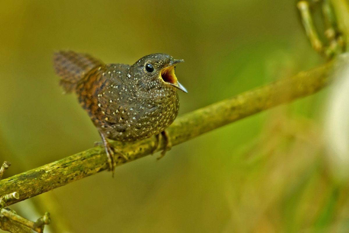 Despite its superficial similarity to other wren-babblers, Spotted Wren-babbler has been found to be a parallel-evolved species belonging to its own family, and derived from a more ancient lineage. Photo: Ramki Sreenivasan (Conservation India).