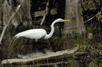 Despite many birders hopes, Great Egret is unlikely to be split any time soon. However, the American subspecies is the most likely armchair tick were it to happen. Hans Stieglitz (commons.wikimedia.org).
