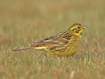 Female Yellowhammer by Bill Baston.