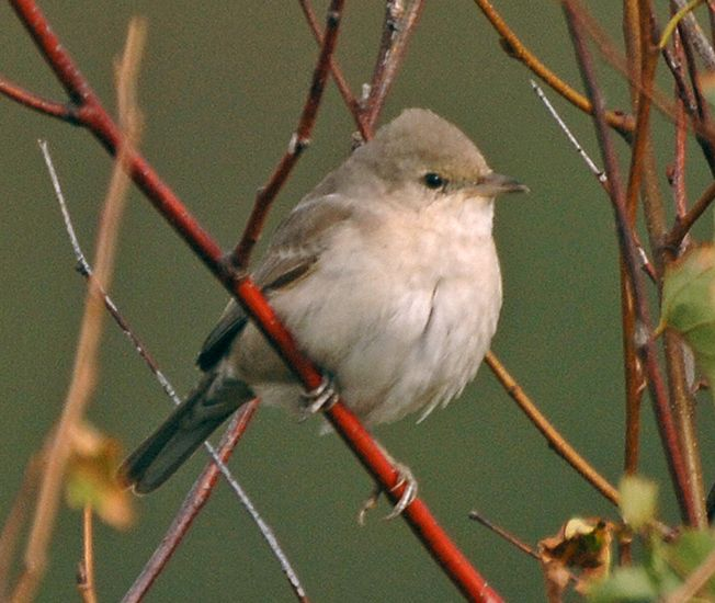 First-winter Barred Warbler (St Mary's, Scilly, 7 October 2007).Photo by Steve Young (www.birdsonfilm.com).