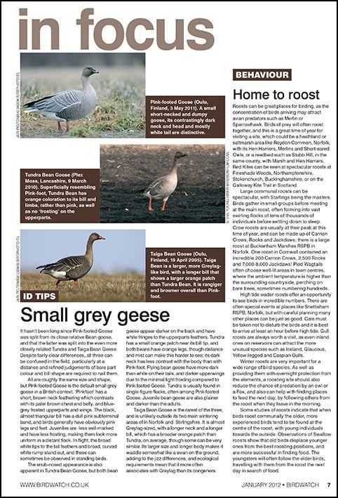 Grey geese ID tips