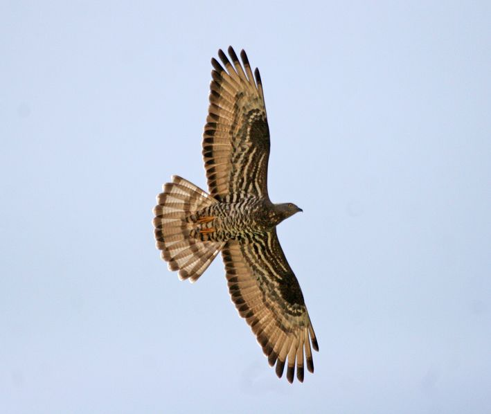Honey Buzzard. Photo by Dominic Mitchell (www.birdingetc.com).