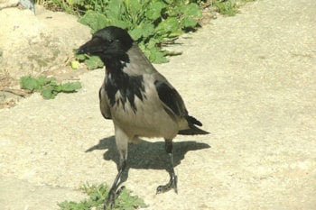 Hooded Crow, like this bird in Jerusalem, Israel, could be merely a stable colour morph rather than the full species we currently believe it to be. Photo: SuperJew (commons.wikimedia.org).