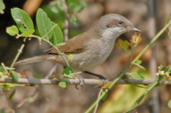 Hume's Lesser Whitethroat in Hyderabad, India. Photo: J M Garg (commonswikimedia.org).