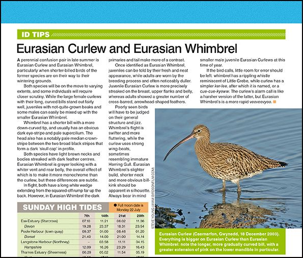 ID tips: Eurasian Curlew and Eurasian Whimbrel