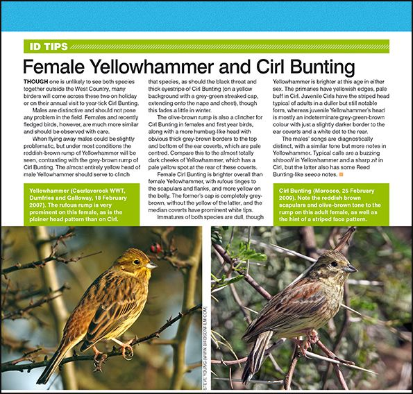 ID tips: female Yellowhammer and Cirl Bunting.