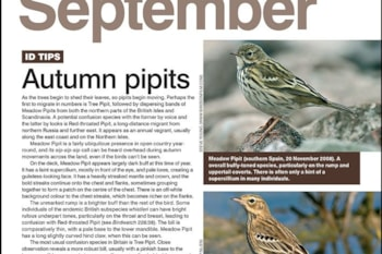 ID tips: Meadow, Tree and Red-throated Pipits.
