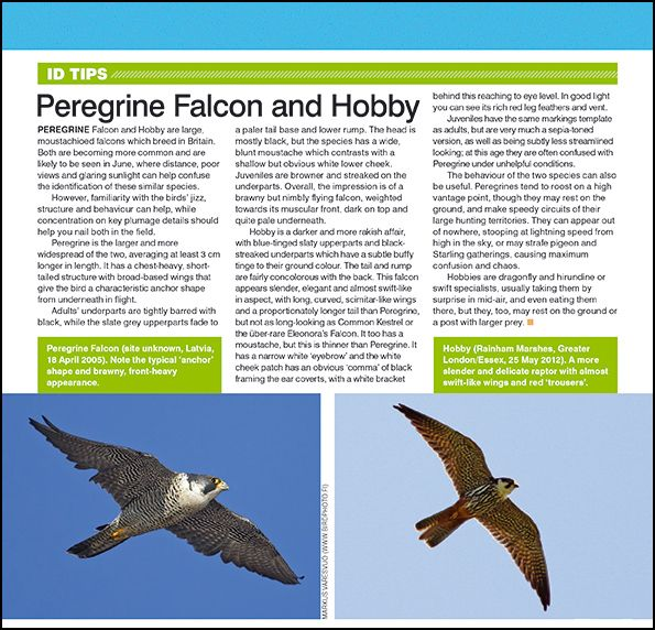 ID tips: Peregrine Falcon and Hobby