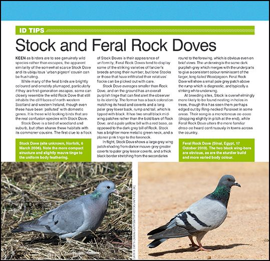 ID tips: Stock and Feral Rock Doves.