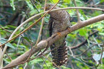 Indian Cuckoo, like this juvenile photographed in Kerala, India, clearly differs in plumage and vocalisations from Common Cuckoo, but some Scandinavian birds may derive from the former species. Photo: Sandeep Gangadharan (commons.wikimedia.org).