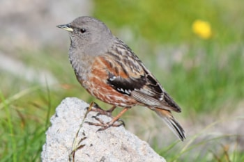 Japanese Alpine Accentor, here photographed on Mount Norikura, is a likely split from European birds, along with the other eastern Asian forms. Photo: Alpsdake (commons.wikimedia.org).