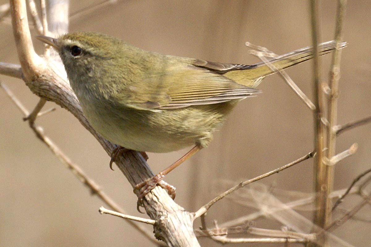 Japanese Bush Warbler has been transferred from the genus Cettia to Horornis after its similarities to Cetti's Warbler were found to be genetically superficial. Photo: M Nishimura (commons.wikimedia.org).