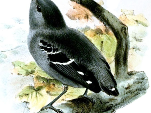 Joseph Wolf first painted Plain-throated Antwren from specimens in 1857. Image: commons.wikimiedia.org.
