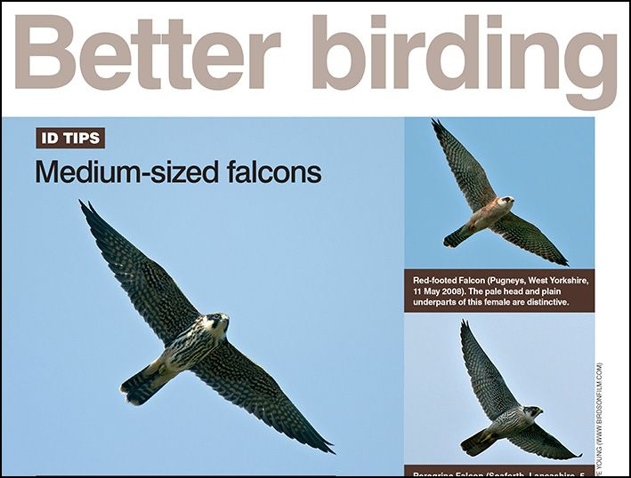 June ID tips: medium-sized falcons