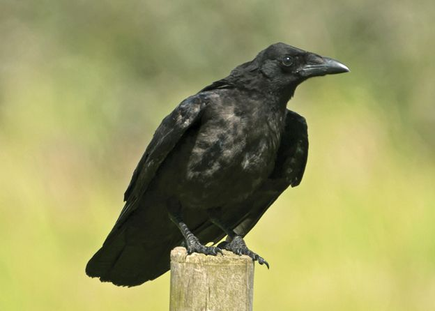 Juvenile Carrion Crow. Photo by Steve Young (www.birdsonfilm.com).