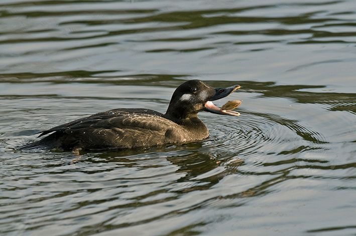 Juvenile Velvet Scoter (Clitheroe, Lancashire, 26 December 2009). Photo by Steve Young (www.birdsonfilm.com).