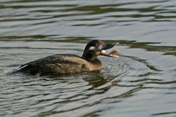Juvenile Velvet Scoter (Clitheroe, Lancashire, 26 December 2009). Photo by Steve Young (www.birdsonfilm.com).