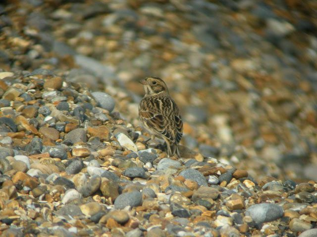 Lapland Bunting in Norfolk, 28 September 2004. Photo by Hugh Venables (commons.wikimedia.org).