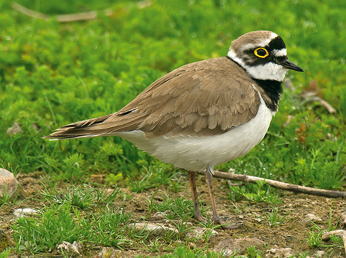 Little Ringed Plover by Steve Young