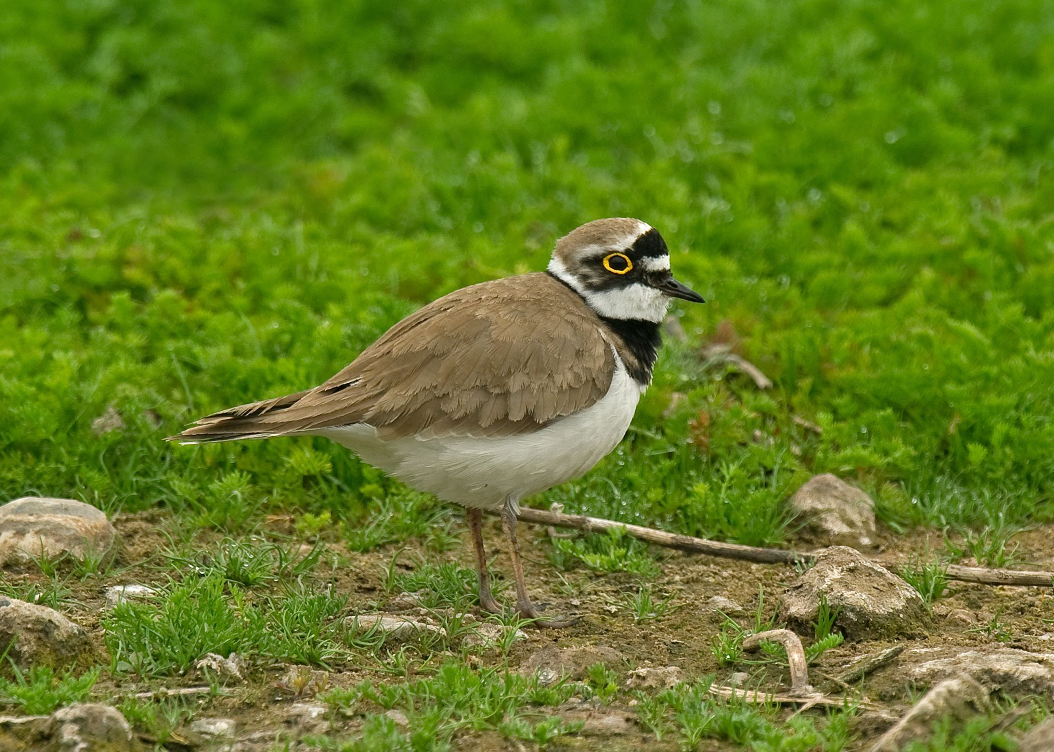 Little Ringed Plover can be seen at many wetland sites around the country, including Seaforth, Lancashire. Photo by Steve Young (www.birdsonfilm.com).