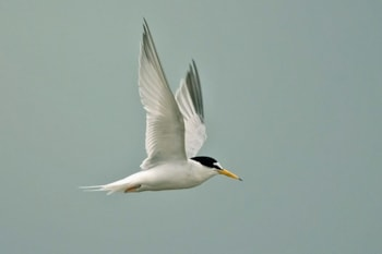 Little Tern can be identified by its small size and black-tipped yellow bill. Note also the white forehead. Photo by Steve Young (www.birdsonfilm.com).