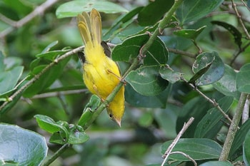 Little Yellow Flycatcher from East Africa gets it own family. Steve Garvie (commons.wikimedia.org).