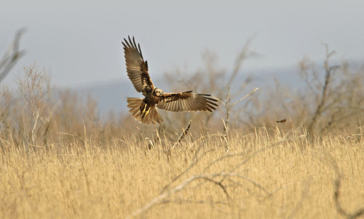 Most British Marsh Harriers are found in England, with East Anglia being a particular stonghold; look out for them quartering reedbeds and fields. Photo: Bill Baston (WWW.BILLBASTON.COM).