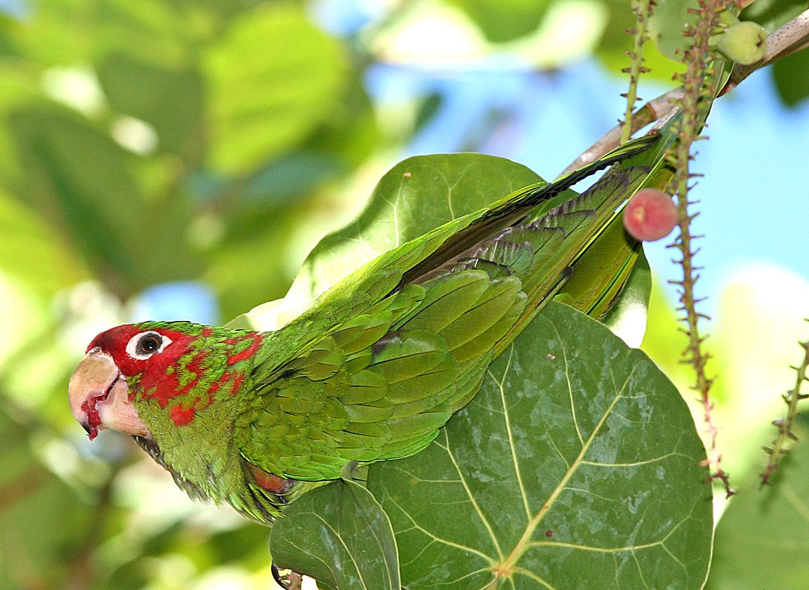 Nominate Mitred Parakeet has a feral population in Florida, USA, but back home in South America it has regained two subspecies. Photo: www.birdphotos.com (commons.wikimedia.org).
