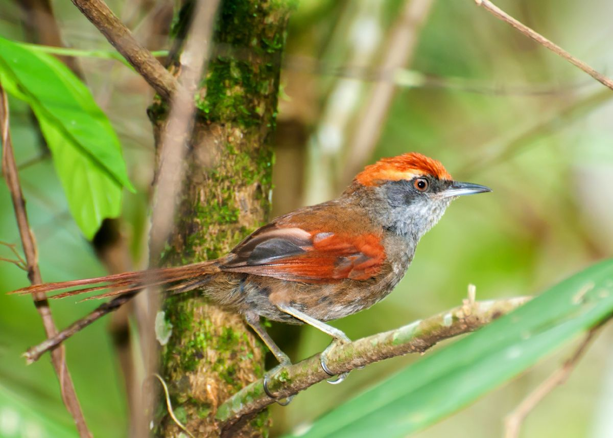 Nominate Rufous-tailed Spinetail in Sao Paulo, Brazil. Photo: Dario Sanches (commons.wikimedia.org).