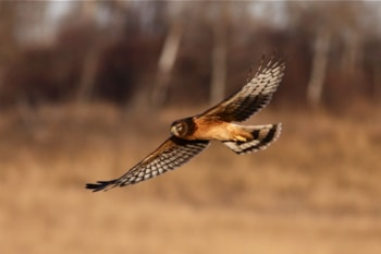 Northern Harrier is often proposed as a potential split from Hen Harrier, and the new analysis supports this proposal. Photo: dfaulder (commons.wikimedia.org).