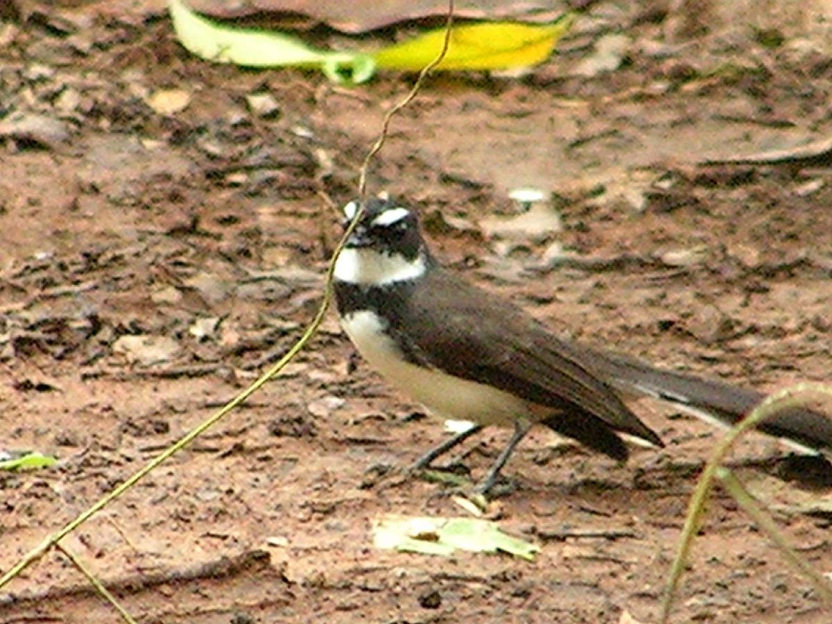 Philippine Pied Fantail will be an 'armchair tick' for many previous visitors to the archipelago. Photo: pinay06 (commons.wikimedia.org).