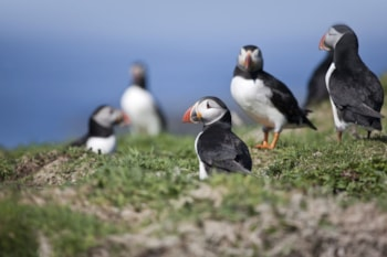 Puffins are best seen during the breeding season, when they gather in large colonies. Photo: Anthony Roberts.