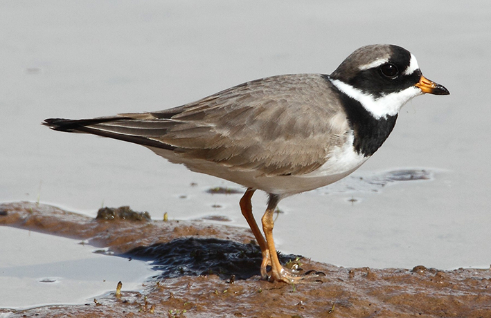 Ringed Plover by Jim Almond