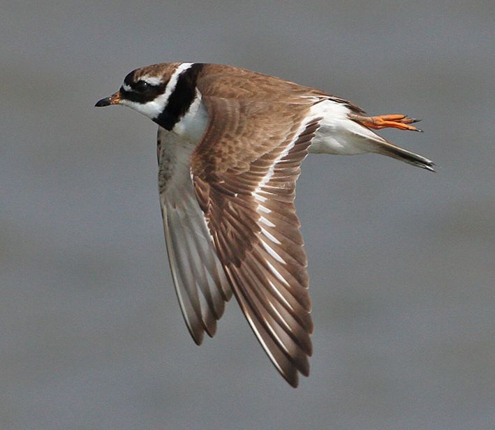 Ringed Plover (German North Sea coast, 14 August 2010). Diagnostic in the ID of this species is the obvious white wing-bar in flight. Photo by Stefan Pfutzke (www.green-lens.de).