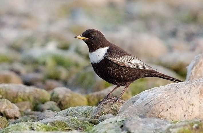Ring Ouzel (Uto, Finland, 2 May 2008). Photo by Robert Pekkarinen.
