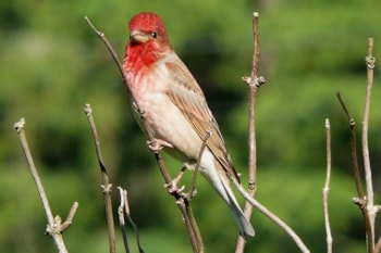 Rosefinch no more? Our most familiar Carpodacus species, Common Rosefinch, has been reassigned to its own unique genus. Photo: Piotr Matyga (commons.wikimedia.org).