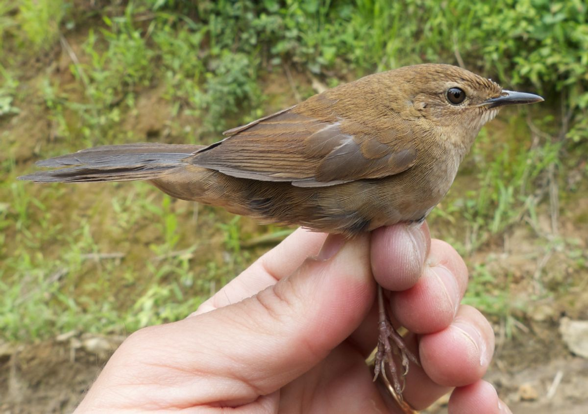 Russet Bush Warbler, such as this nominate bird, now finds itself with four sister species and the possibility of more to come. Photo: Per Alström.