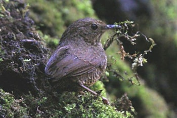 Scaly-breasted Wren-babbler, here photographed in Himachal Pradesh, India, was hiding a new species in the Chinese part of its range. Photo: J M Garg (commons.wikimedia.org).