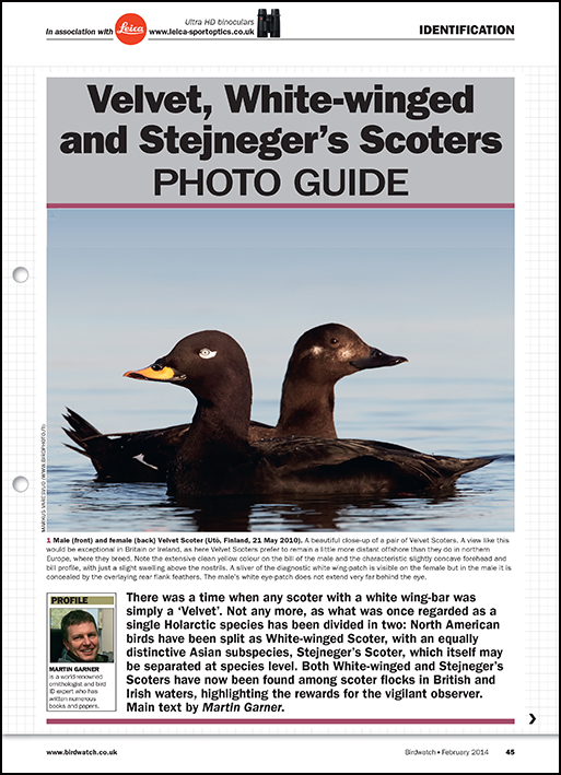 Velvet, White-winged and Stejneger's Scoters ID photo guide