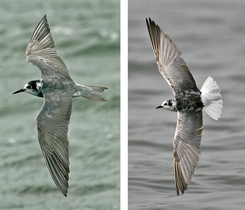 Black and White-winged Black Terns