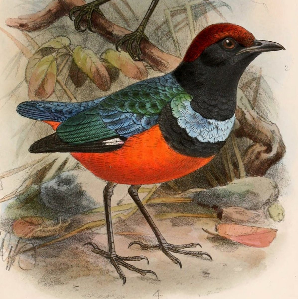 The form of Red-bellied Pitta from Baggai and Sula, Indonesia, is now a full species, Sula Pitta E dohertyi. Illustration: Keulemanns (1899).