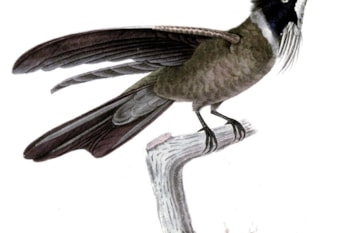 The hummingbird White-bearded Helmetcrest has just been split from Bearded, along with three other new species. Image: Émile Parzudaki (commons.wikimedia.org).
